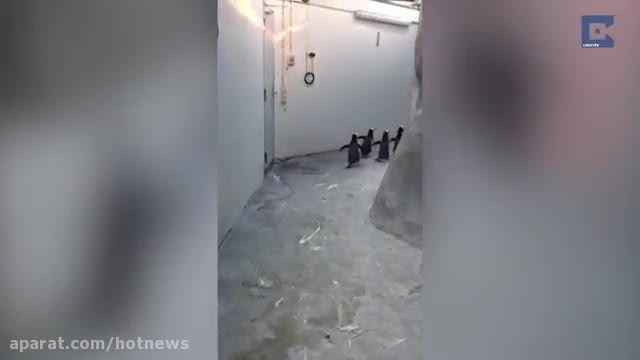 فرار ناموفق پنگوئن ها از باغ وحش