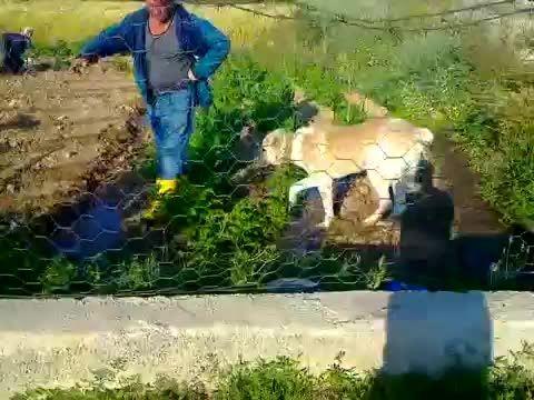 سگ سرابی .vs سگ رُتوایلر