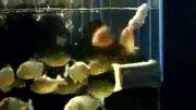 ماهی های گوشت خوار