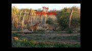 یادی از کشته شدن شیر توسط ببر