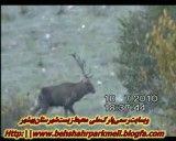 گوزن یا مرال در هزار جریب شهرستان بهشهر
