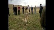 - دعوای سگ -  رضاسیستم  -سگ اهر - بوغوش سگ اهر