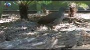 توانایی خارق العاده یک پرنده در تقلید صدا + فیلم
