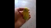 جوجه مرغ عشق (4) - مرغ عشق نایین