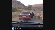 گوسفند دزدی به سبک مدرن