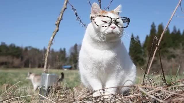 گربه عینکی