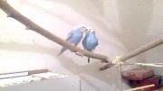 مرغ عشق های آبی (پوریا 60)