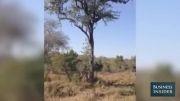 نبرد دیدنی پلنگ ها روی درخت 2013