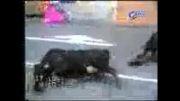 کلیپ طنز تصادف دو گاو با همدیگر