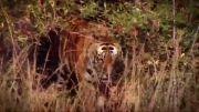 فیل-کرگدن-بوفالو-سامبار حیواناتی که ببر شکار میکند