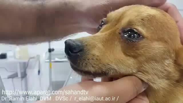 اشک سگ ناشی از مهربانی و احساسی شدن در دامپزشکی تبریز