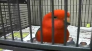 شاه طوطی استرالیایی