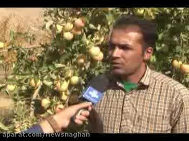 برداشت سیب درختی در ناغان