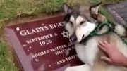 گریه کردن سگ سر قبر صاحبش..فقط ببینید