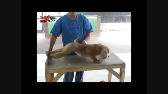 میمون بدن ساز!