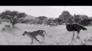 شتر مرغ vs شیر