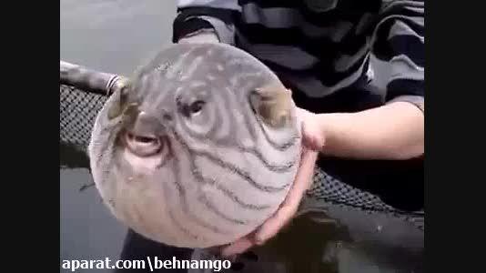 ماهی عجیب الخلقه...!