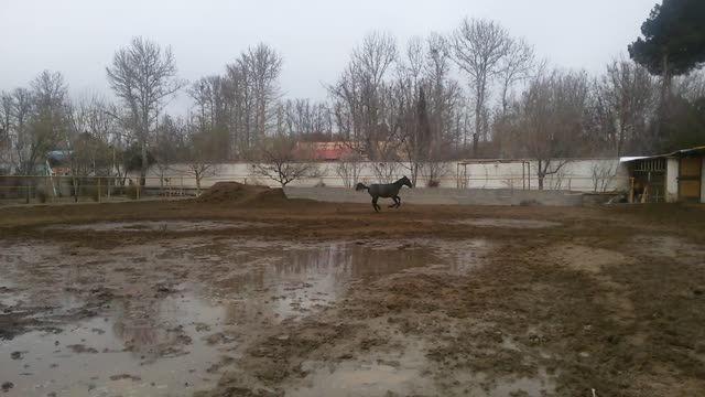 کره اسب ترکمن آخال تکه