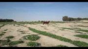اسب عرب کره زوبین(کرنگ)