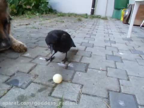 توب بازی کردن زاغی با سگ