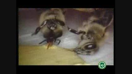 اسرار کندو سازی زنبور عسل