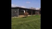 شتر خوشحال :)))