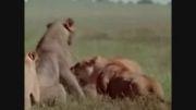 مستند شیرها و حیات وحش افریقا(قسمت 5)زیبارترین مستند