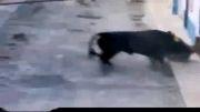 مرگ توسط حمله گاو وحشی