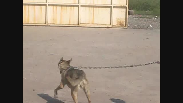 فروش یک قلاده سگ درنده نگهبان