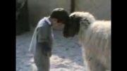 کله گرفتن بچه با گوسفند