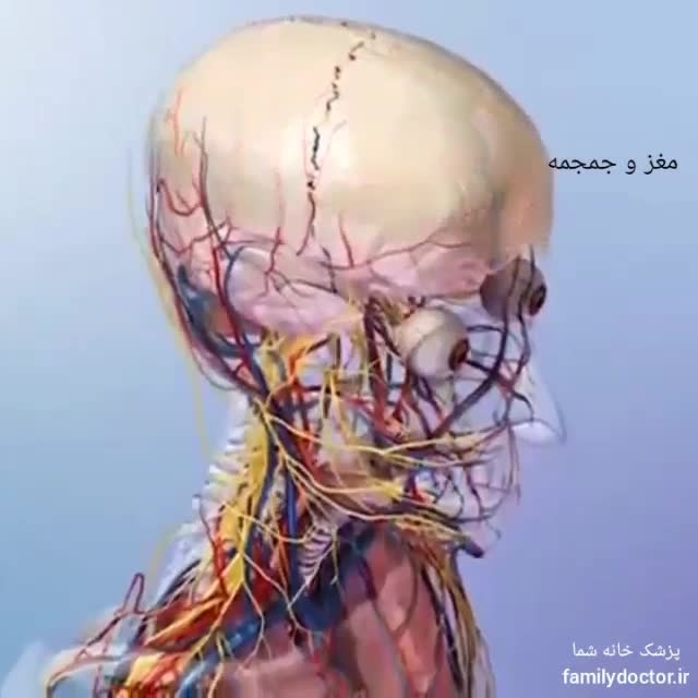 اسکلت بدن انسان و محافظت از اعضای بدن