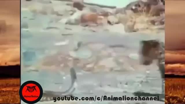 حملات شاه کبرا در مقابل بابون و ببر و میمون و تمساح