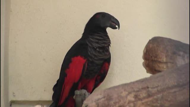 طوطی شیطان(Pesquet's Parrot)