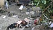 جنگ خروس لاری با خروس محلی