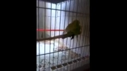 جفت گیری مرغ عشق (1 ) - مرغ عشق نایین