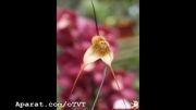 گلی مزیّن به چهرۀ میمون! بسیار زیبا و جالب!