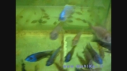 سیچلاید اهلی - خوش رنگ طبیعی