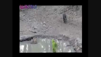 ببر گراز را زنده زنده می خورد+فیلم کلیپ ویدیو شکار