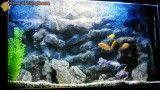 آکواریوم ماهی اسکار در کنار سیچلاید ها با دکوری بسیار زیبا