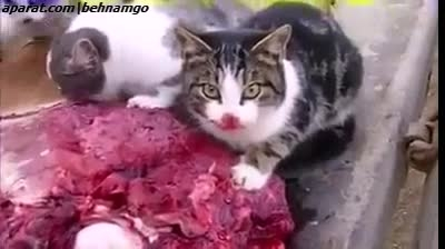 +18 جنایت فجیع گربه ها.هشدار :))
