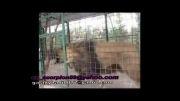 سوختن شیر در باغ وحش مشهد