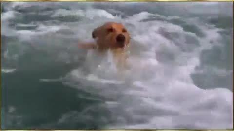 نجات یک سگ گرفتار کوسه بوسیله یک دلفین!! ( خیلی باحال)