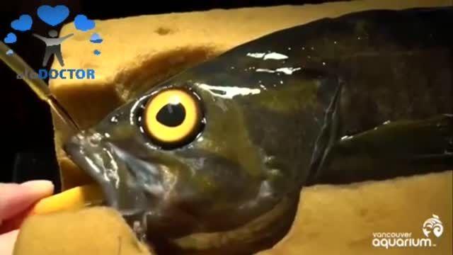 عمل جراحی آب مروارید چشم روی یک ماهی