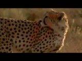 یوزپلنگ ایرانی تنها گونه پلنگ در اسیا که رو به انقراض است