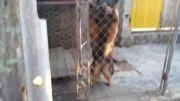 سگه ژرمن ماده بسیار خطر ناک