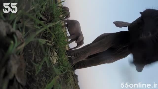 تصویربرداری فیل ها از خودشان با دوربین گوپرو