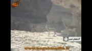 دریاچه اورمیه و گوزن زرد ایرانی