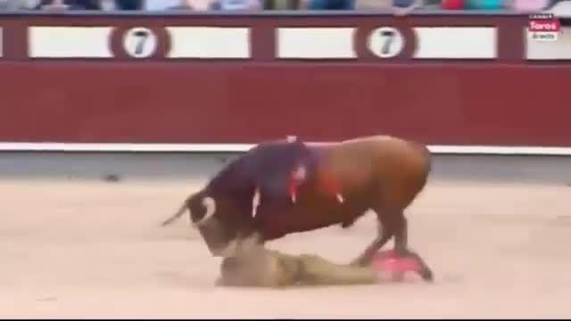 شاخ گاو در بدن گاوباز - بازی با گاو کار دست گاوباز داد