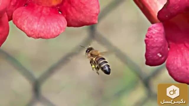 تغذیه زنبور عسل از گل ها