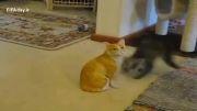 عکس العمل دیوانه وار یک گربه در مقابل گربه تقلبی